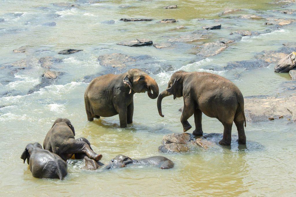 Éléphants au Sri Lanka