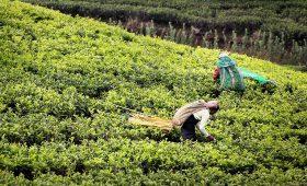 Récolte au Sri Lanka